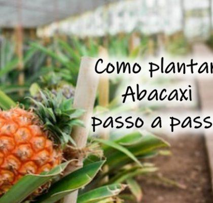 Como plantar abacaxi passo a passo