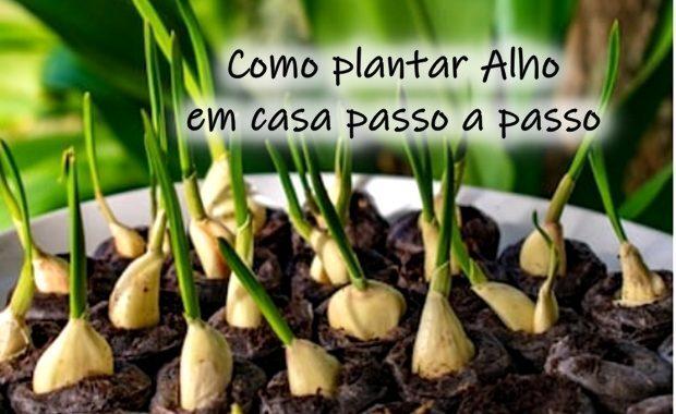 Como plantar alho em casa passo a passo